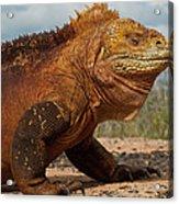 Galapagos Land Iguana Conolophus Acrylic Print