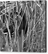 Gallinule In The Grass Acrylic Print