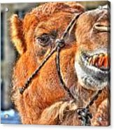 Gangsta Grillin This Camels Chillin Acrylic Print