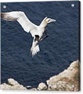 Gannet Landing Acrylic Print