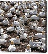 Gannets Showing Fencing Behavior Acrylic Print