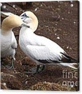 Gannets Showing Mutual Preening Behavior Acrylic Print