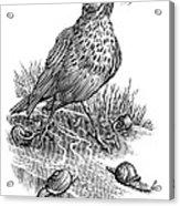 Garden Bird Catching Snails, Artwork Acrylic Print by Bill Sanderson