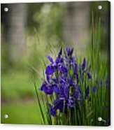 Garden Blue Irises Acrylic Print