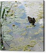 Garden Duck Acrylic Print