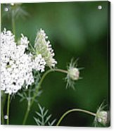 Garden Lace Group By Jammer Acrylic Print