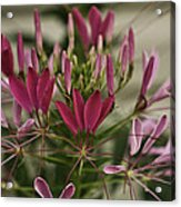 Garden Stinkweed Flower 1 Acrylic Print