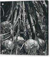 Garlic Bulbs Acrylic Print