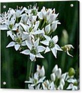 Garlic Chive Blooms Acrylic Print