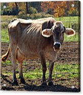 Gasping Cow Acrylic Print