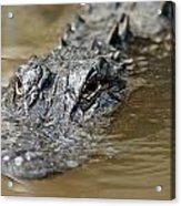 Gator 3 Acrylic Print