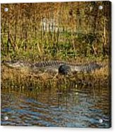 Gator Break Acrylic Print