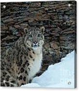 Gaze Of The Snow Leopard Acrylic Print