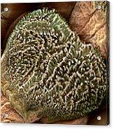 Gecko Foot Hairs, Sem Acrylic Print