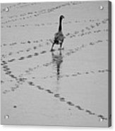 Geese Acrylic Print by All copyrights reserved by Harris Hui