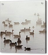 Geese And Ducks In A Placid Lake Acrylic Print