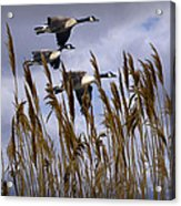 Geese Coming In For A Landing Acrylic Print