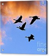 Geese Silhouetted At Sunset - 1 Acrylic Print
