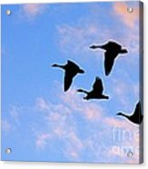 Geese Silhouetted At Sunset - 2 Acrylic Print