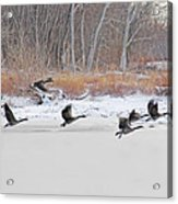 Geese Take Flight Over The Maumee River Acrylic Print