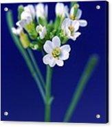 Genetically Modified Plant Acrylic Print