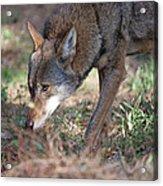 Gentle Wolf Acrylic Print