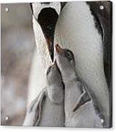 Gentoo Penguin Feeding Its Two Chicks Acrylic Print by Tom Murphy