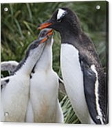 Gentoo Penguin Parent And Two Chicks Acrylic Print