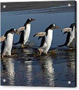 Gentoo Penguin Pygoscelis Papua Group Acrylic Print