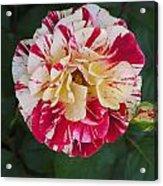 George Burns Rose Acrylic Print
