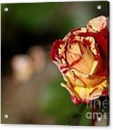 George Burns Rose Acrylic Print