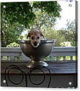 George In A Bowl Acrylic Print by Mark Haley