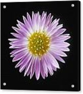 Gerber Daisy In Black Background Acrylic Print