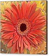 Gerber Delight Acrylic Print
