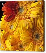 Gerbera Daisy With Orange Petals Acrylic Print