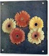 Gerberas Acrylic Print