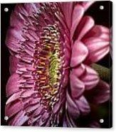 Gerburple Daisy Acrylic Print