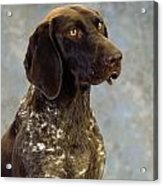 German Pointer Portrait Of A Dog Acrylic Print