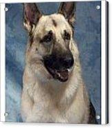 German Shepherd 362 Acrylic Print