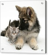 German Shepherd Dog Pup With A Tabby Acrylic Print by Mark Taylor