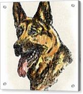 German-shepherd-portrait Acrylic Print