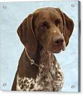 German Shorthaired Pointer 740 Acrylic Print