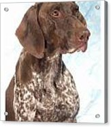 German Shorthaired Pointer 960 Acrylic Print