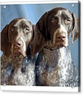 German Shorthaired Pointers 127 Acrylic Print