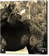 Get Off My Back In Sepia Acrylic Print