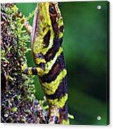 Giant Anole Dactyloa Microtus Male Acrylic Print