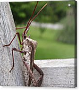 Giant Assassin Bug Acrylic Print