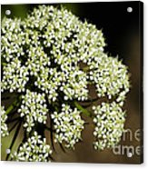 Giant Buckwheat Flower Acrylic Print