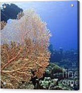 Giant Gorgonian Coral Acrylic Print