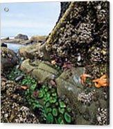 Giant Green Sea Anemone Anthopleura Acrylic Print